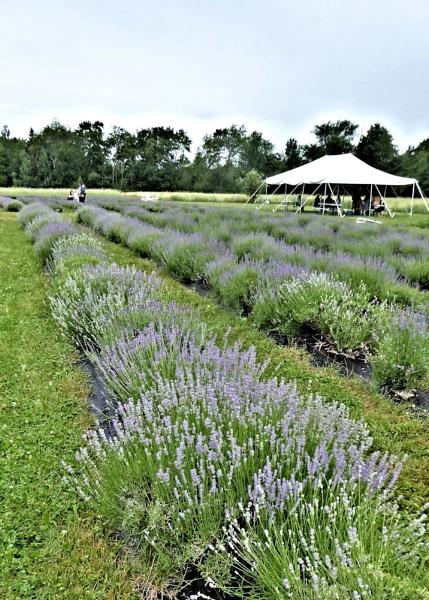 The Lavender Harvest by Joline