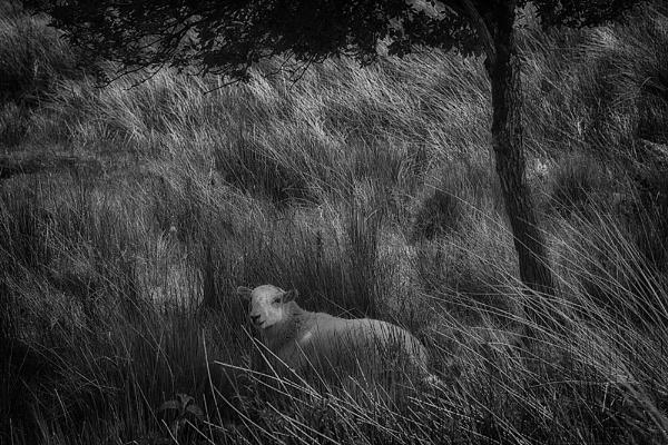 A Sheep Under a Tree. by Buffalo_Tom