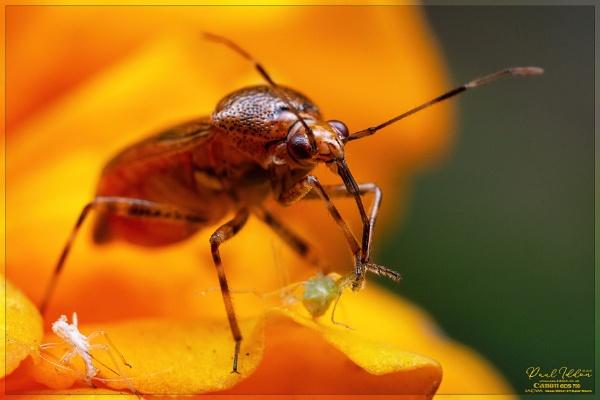 Mirid Bug by Paul_Iddon