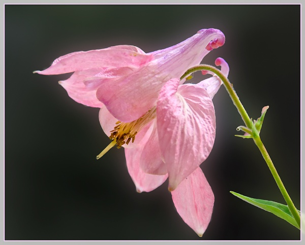 Last Of The Aquilegia by Sylviwhalley