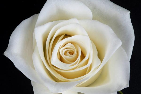 White Rose by sponge870