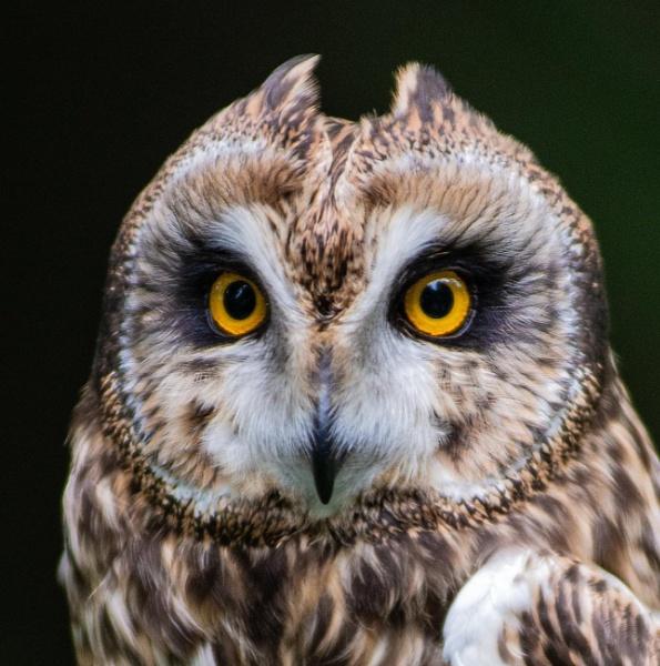 Short eared owl 1 by KdyTeejay