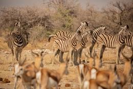 Zebra and Springbok