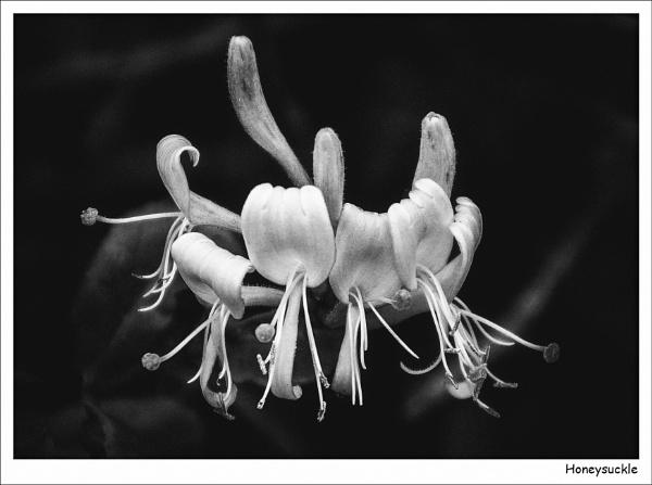 Honeysuckle by Robert51