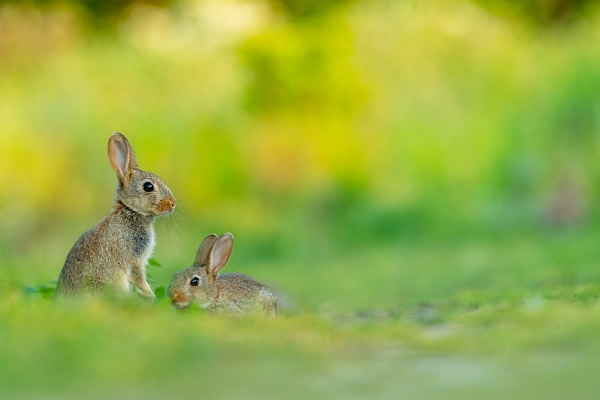 Young wild rabbits by olafo