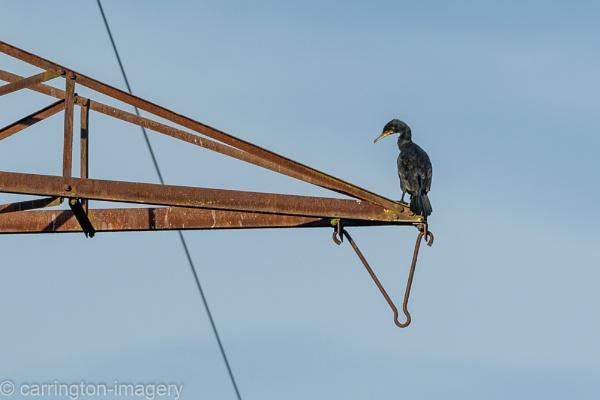 Cormorant on Pylon by CImagery