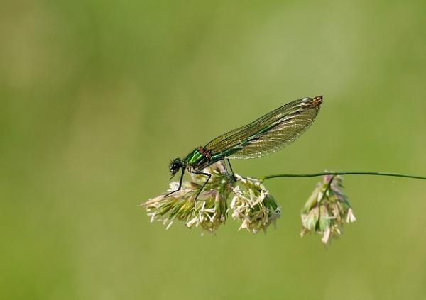 Banded Demoiselle.Female by 64Peteschoice