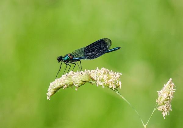 Banded Demoiselle.Male by 64Peteschoice