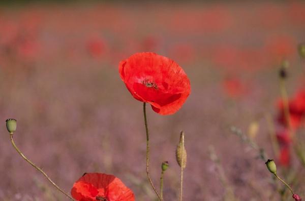 Poppy field by 64Peteschoice