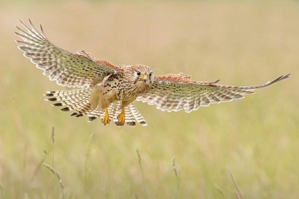 Female common kestrel by Jamie_MacArthur