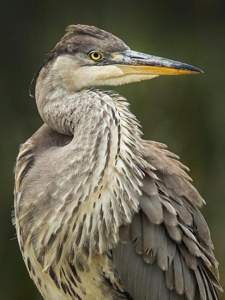 Heron portrait by Jamie_MacArthur