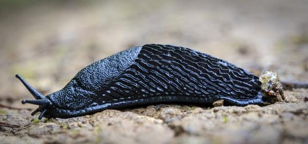 Black Slug by pink