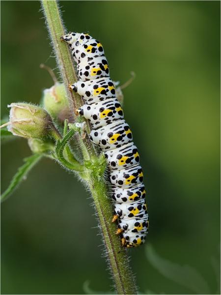 Mullein Caterpillar by Dixxipix