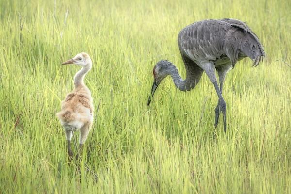 Sandnhill cranes by jbsaladino