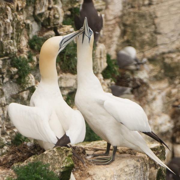 Gannets by Alan_Baseley