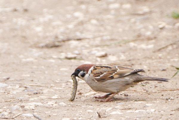 Sparrow by Alan_Baseley