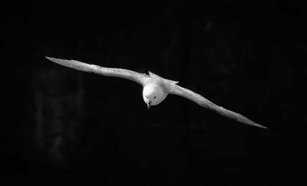 Fulmar by jasonrwl
