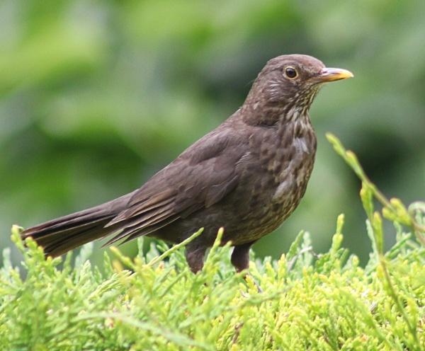 Young Blackbird - Turdus Merula by peterkin