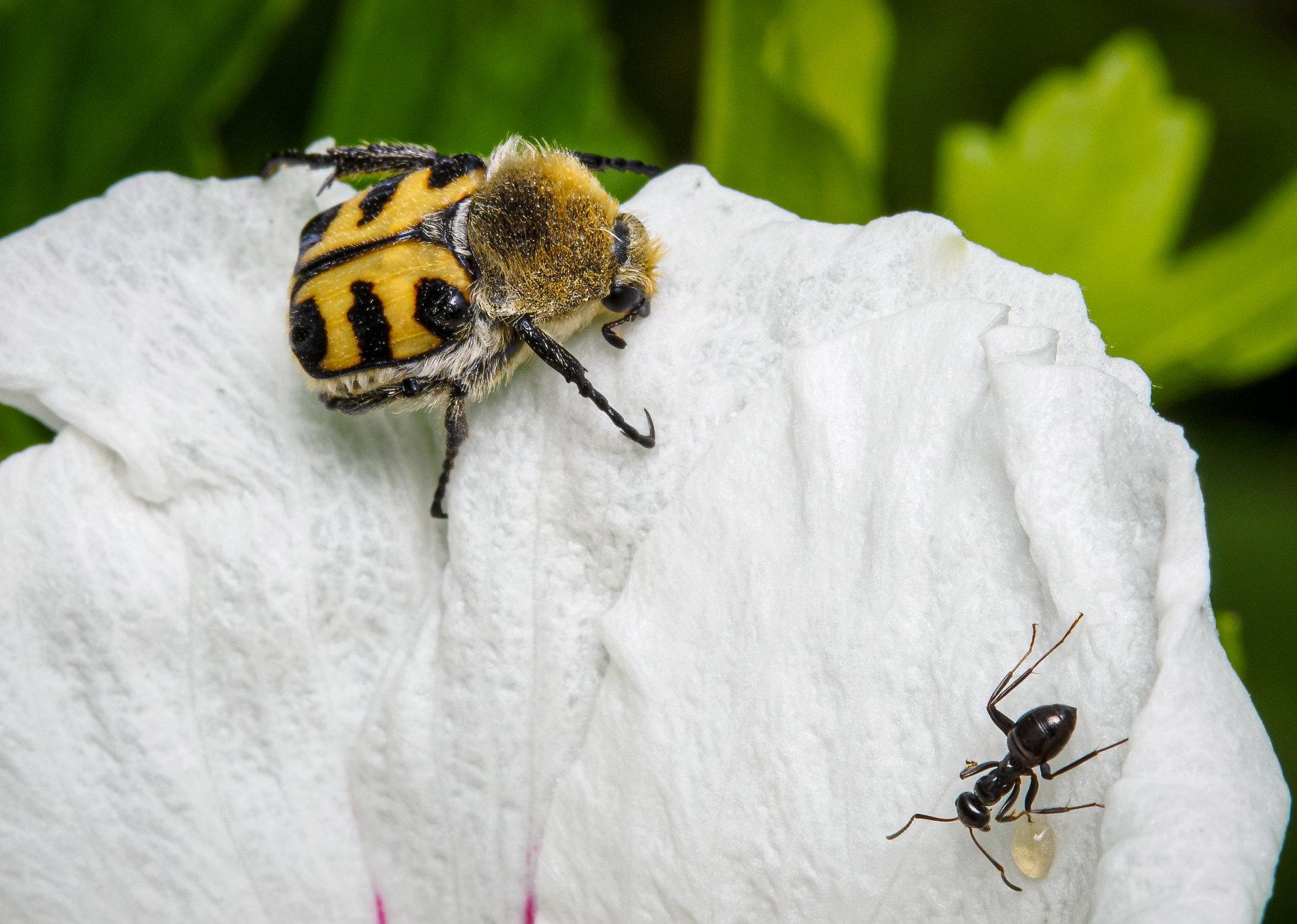 Trichiotinus fasciatus (Bee Beetle)
