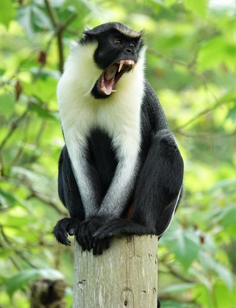 Diana Monkey by JanOByrne