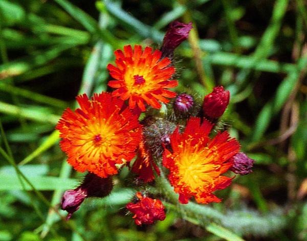 Devil\'s Paintbrush (Hieracium aurantiacum)  (best viewed large) by gconant