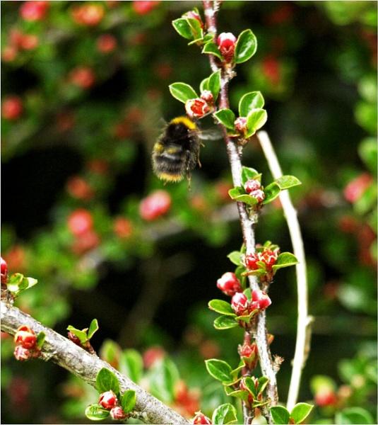 Bees in flight - 2 by JuBarney