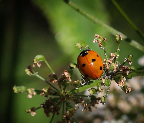 Ladybug. by Jukka