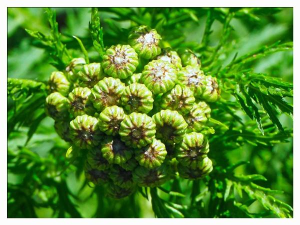FLOWER BUDS. by kojack
