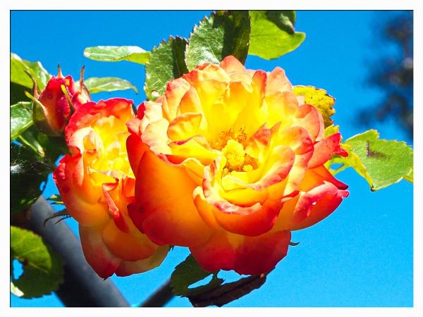 HARLEQUIN ROSE. by kojack