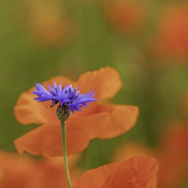 Cornflower by mommablue