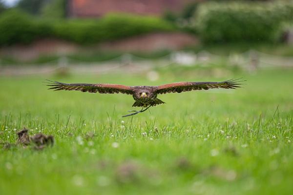 Pablo - Harris Hawk by jcannon