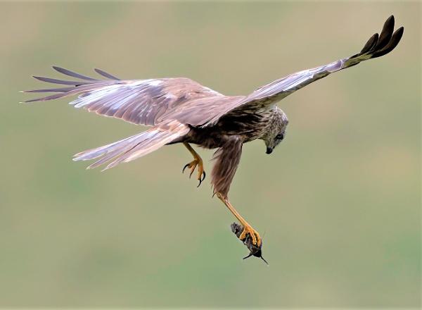 Harrier sky ballet by movingmountain