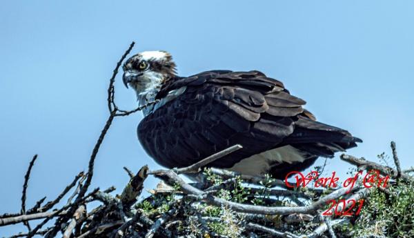 Osprey by AlwaysAl