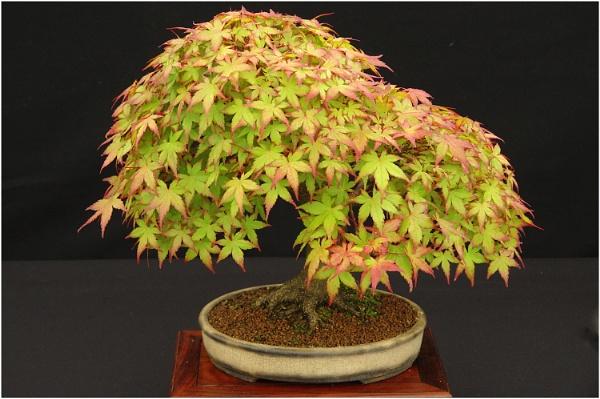 Bonsai Japanese Maple by johnriley1uk