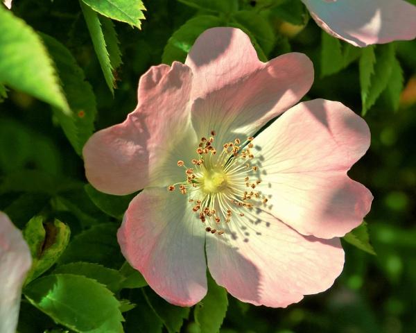 A Wild Rose by photowanderer