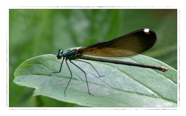 River Jewelwing by taggart