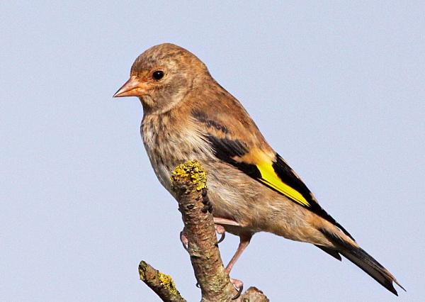 Goldfinch-Juvenile. by bobpaige1