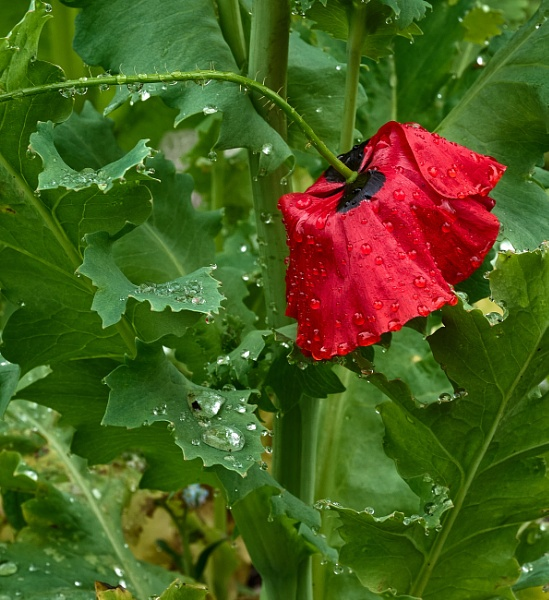 Poppy Raindrops by JJGEE