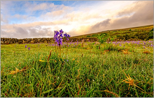Bluebells by DTM