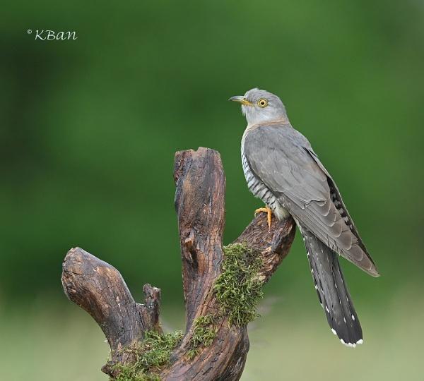 Female Cuckoo by KBan