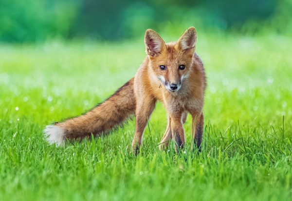 Red Fox by TDP43