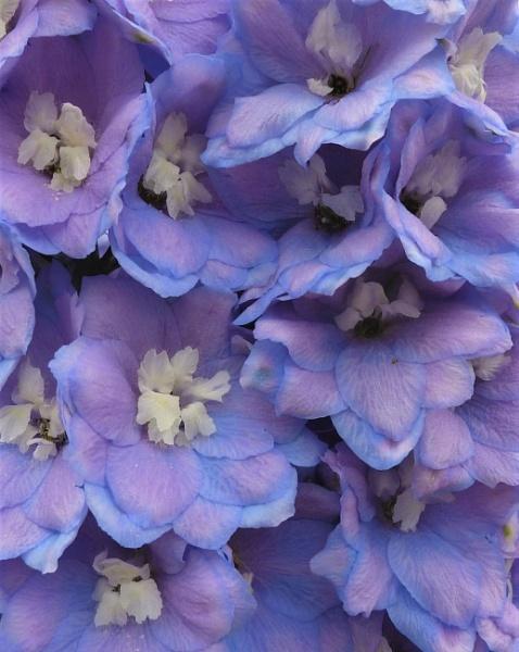 Delphinium Beauty by BarbaraR
