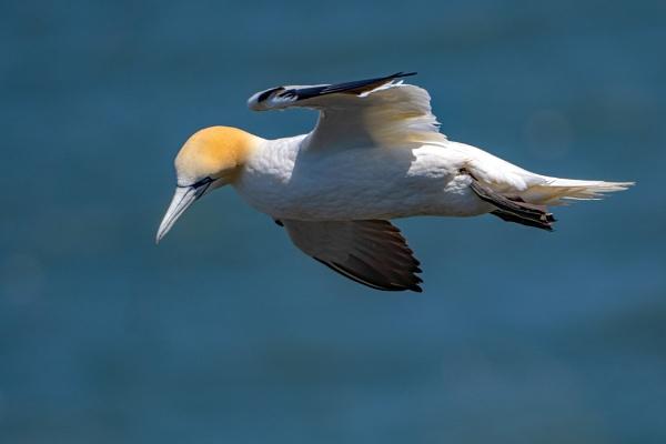 Gannet flypast by terra