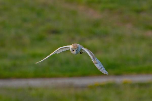 Barn owl hunting by terra