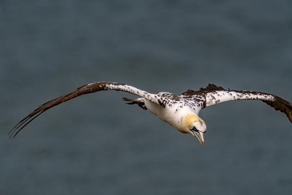 Juvenile gannet in flight. by terra