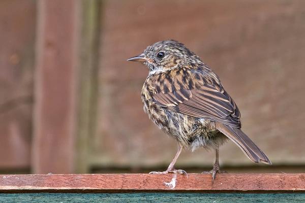 A Dunnock fledgling by johnsd