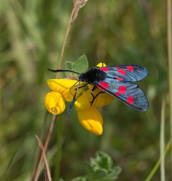 Narrow-bordered Five-spot Burnet moth by oldgreyheron