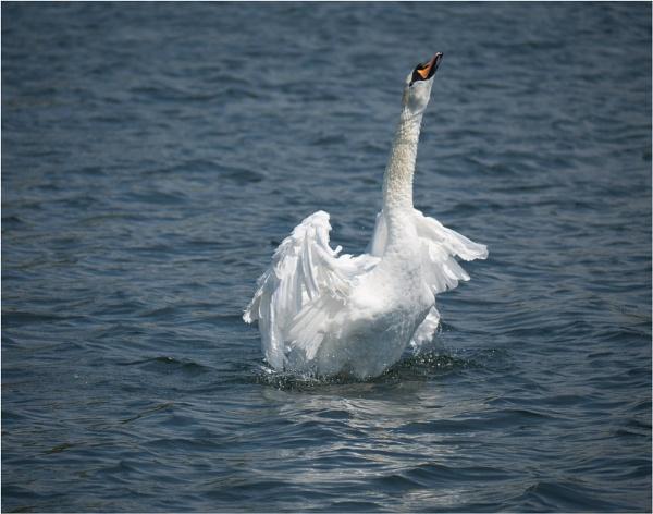 A flock of swans. by franken