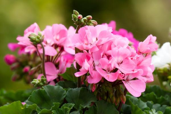 Pink Geranium by Curtain