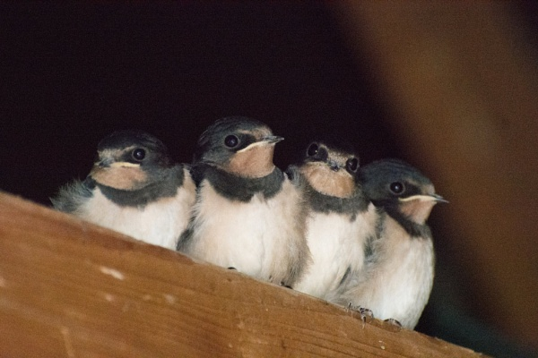 Four little Swallows by LinH